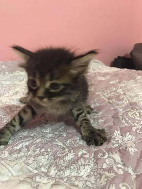 1 aylık kedi yavrusu3